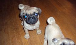We have 1 female pug puppy left she has her first shots been dewormed and given a clean bill of health from our vet , Dixie  has been raised in our home is well socialized with children and other animals , both parents are purebreed pugs , Mom is on site