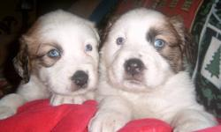 I have the most beautiful puppies !!! they are 6 weeks old today. Half the pups look like the mom and half look like the dad. I have some with long hair and some with short hair ..some have blue eyes and some have brown. I have tons of pics of parents as