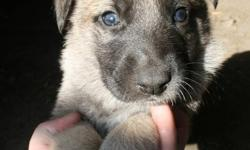Jade and Aiden had a litter of 8 German Shepherds. There is 7 females and 1 male. They will be 8 Weeks on Sunday October 30, however they are doing very well so maybe the soonest they could go would be on Sunday October 23. I own both mother and father