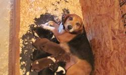 Owner selling 7 beautiful Beagle Puppies. There are 3 males and 4 females. All pups are a mixture of colors varying from black, white, brown and tan. Tricolor pups are real prizes :) They were born on September 22, 2011 and will be ready to go as soon as