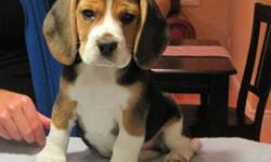 Beautiful CKC registered purebred Beagle puppies. Puppies will be ready for their new family at 9 weeks. These puppies are the smaller 13inch Beagles. Both Males and Feamales available to loving homes who have the time required for a puppy. If you are