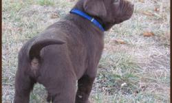LOVABLE LABS  HAS CKC REGISTERED PUREBRED LAB PUPPIES FOR SALE...1 CHOCOLATE MALE, 1 BLACK MALE, 1 BLACK FEMALE  ...$750...PICTURES ARE OF  THE 3 AVAILABLE PUPPIES...DELIVERY TO SWIFT CURRENT NOV 11TH ALL ARE VERY CHUNKY & ADORABLE..10inches high, weigh