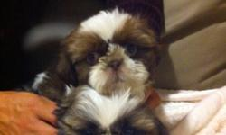 Gorgeous Shih Tzu puppies, 2 males, 8 weeks old. One is gold and white and the other is dark brown and white with gold colored head. From show dog bloodlines. Very affectionate loyal breed. Come vet checked, dewormed with first puppy shots. Also included