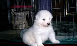 Iris - Canadian Champion Simply Irresistible - announces the birth of her litter of lovely Samoyed puppies. They have had their dewclaws removed and have been dewormed twice. Microchips will be implanted for ID purposes and they will have first shots