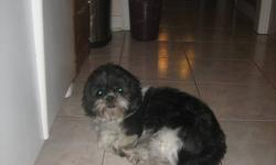 Introducing Sugar!   Sugar is a 2 and a half year old Shih Tzu who has a very good temperment and is in need of a loving home. She is mostly Black with  a bit of white on her face and stomach. She has had all her shots including rabbies and is a very