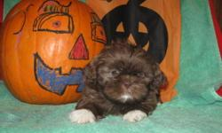 VET CHECKED HEALTHY! 2 SHOTS/DEWORMED! PERFECT FACES, EXCELLENT QUALITY PUREBRED SHIH-TZU PUPS! (not reg'd)GORGEOUS UNIQUE COLORS! RARE CHOCOLATE BOY IS $500! THESE BABIES ARE FAMILY RAISED IN MY HOME WITH YOUNG CHILDREN. VERY WELL SOCIALIZED. MANY