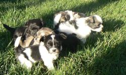 Beautiful Shih Tzu/ Poodle puppies ready to go November 7th.  Puppies will be held for approved homes with deposit.  Vet check, deworming and first vaccinations included.  Raised in a family environment with their mom and dad, our little darlings are