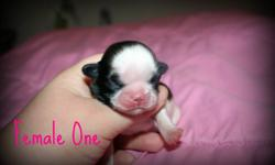 We have some beautiful shih tzu puppies looking for their forever homes!! Parents are both of the smaller size shih tzus, around and under 10lbs. Needing a $150.00 nonrefundable deposit to keep puppy of choice on hold. Puppies will be dewormed before