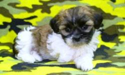 3/4 Shih Tzu x 1/4 Bichon puppies, healthy with sweetheart personalities. 1 Male and 1 Female. Ready to go. They come with shots to date, vet check and deworming. To good pet homes only. Call 1-204-347-5894.