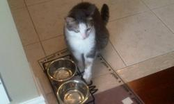 Looking for a very loving home for a 5 year old spayed and declawed, very well taken care of  silver  and whilte female  adult cat. Her name is Stella. She is a gentle cat that love people's company. She prefers a quieter atmosphere where she enjoys