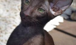 Solid Chocolate Oriental Shorthair Male and Female kittens with amazing emerald green eyes from imported Australian and European pedigrees available. First photo shows what they will look like when they are older.   Price includes registration papers,