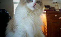 Tia Maria is a beautiful Tica Registered Lynx Bicolor Ragdoll! She comes from excellent lines (her father was double grand champion Prince Kai). We are now retiring her from our breeding program, after only a couple litters, as we are keeping her son as