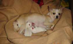 I am selling two beautiful puppies, they are Chihuahua/Skye Terrier mix, males. The two whites one in the pictures. (the tan one was the only female from the litter and she's been chosen by her new owner). They were born Nov 25, 2011Their mother is a