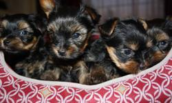 Beautiful Tiny Yorkie Puppies 2 Males and 1 Female left with tails docked, well socialized, family raised, paper trained, first set of shots and deworming (from a registered veternarian)   Yorkie puppies are hypoallergenic and non-shedding Mom (seen in
