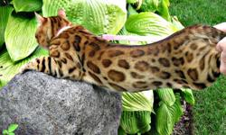 Hello, We have a beautiful litter of Bengal kittens. Five adorable males and one beautiful female. Our kittens are recognized for breeding or showing. They have amazing rosettes - their markings are very unique. They are playful, healthy and happy