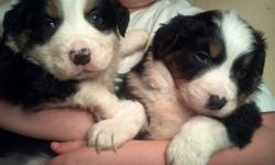 Bernese Mountain Dog/ Aussie Shepard pups (Bernaussies) We have two very beautiful pups left for adoption. The Bernaussie is the perfect dog for you if you love Bernese Mountian Dogs but are concerned about there short life span and are concerned that