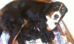 Hello! We are purebread UN-registered Bernese Mountain dog Puppies. We are from happy farm dogs with lots of space and excersize! Our parents are healthy but have not had x-rays and all that fun stuff because we do not come from breeders. We've come from