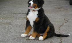 CKC Registered Bernese Mountain Dog Puppies!   ONLY 1 MALE LEFT!   We have a litter of six beautiful puppies that we are offering to loving homes.    Our puppies come with:   CKC Registration 2 year health guarantee vet-checked/first vaccinations