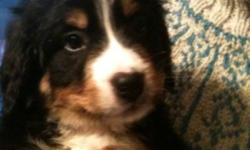 Only 6 beautiful Berners left! All are vet checked, and have their first shots. Males are $700, females $650. (613)865-9845. This ad was posted with the Kijiji Classifieds app.