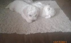 I have 2 male Bichon free puppies left! they can be rehomed as of Jan 17th 2012.. they are extremely energetic and  so gorgeous Mom was 10 lbs and dad was 11lbs. they will be dewormed, have their first shots and have copy of their vet check   we also