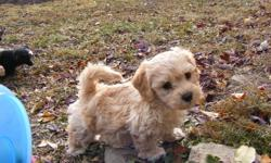 Beautiful Bichon/Shih Tzu/Yorkie puppies available Nov 11, 2011.  3 Males, 1 Female. Incredibly happy, socialize and healthy.  Paper trained,1st shots and health record.  Bred by reputable breeder.  $400 firm.  Contact Barb (403) 827-3222