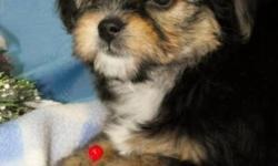 There are three beautiful Black & Tan females still available. They have wavy non-shedding hair and are super soft. Each of the little girls have had their first vaccination and deworming. They will come with their health records and food. We have been