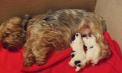 Our female yorkie (she carries the biewer gene) and our male biewer are the proud parents of two male biewer pups...they will be ready to go just after  xmas..  Will be posting pic's soon.. Dew claws done, and vet checked.  They will have their first