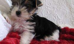 Two gorgeous biewers puppies available to approved homes mid December. I am estimating they will be between 4 to 6 lbs fully grown.  They have beautiful coloring , nice ear sets and good toplines and are an excellent example of the biewer breed. They will