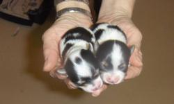 @@@@ Adorable NON-SHEDDING puppies for you.  These puppies are now paper trained.  They are very quiet and gentle like their goregeous Sire.  The parents are both registered with the International Biewer Club and puppiew may be as well.  I have been