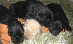 Hi, I have four gorgeous purebred big blocky style lab puppies available to good homes. There are three black ones and one tan one. They are all boys, except for one black girl. Both parents are raising these pups. And they are socilized to cats, will be