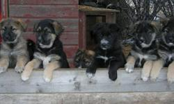 German Shepherd / Maremma PUPPIES   These pups will be BIG DOGS, great for farms and acreages.  COYOTE-PROOF YOUR HOME....Please phone to arrange a visit - about 40 mins. south of Saskatoon.  251-1673   9+ weeks old, only 3 left to choose from.   ALREADY