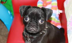 black boston terrier cross with pug for sale to a good home. we can no longer keep him. his name is charlie he is black and very playful and loves to snuggle. he is house broken but not neutered so would be perfect for breeding. he was also the runt of