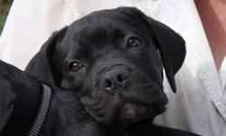Two beautiful female mastiff puppies from outstanding parents.  Friendly and very loving.  Companion priced.  Puppy comes with registration application.