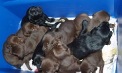 WE HAVE 4 FEMALE / 4 MALE  CHOCHOLATE LABS             mother is pure father  is 1/4 golden 3/4 black lab             no papers on mom or dad / p.s dad was selected very carefully             to insure right markings because mother is a wonderful show dog
