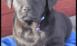 LOVABLE LABS  HAS CKC REGISTERED PUREBRED LABRADOR RETRIEVER PUPPIES FOR SALE...1 BLACK FEMALE, 1 BLACK MALE ($650)..., 1  CHOCOLATE MALE ($750)...PICTURES ARE OF  THE AVAILABLE PUPPIES ...READY TO GO TO NEW HOMES. ALL ARE VERY CHUNKY &