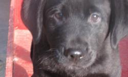 Black lab cross puppies for sale.  Dewormed at 6 weeks.  Male and female available.  Female has first shots and has been vet checked. Mother is a black lab and fathe is a mix of lab, retriever and a few others.