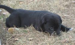We have 3/4 black lab x blue heeler puppies looking for their forever homes.  They are ready to go and looking to give someone unconditional love. We only have 2 girls left. Please call or text 403-619-1674 for more information.
