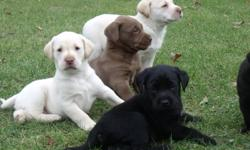 Family Raised Black Lab puppies (yellow & chocolates have been spoken for)- ready to go to their new homes - December 03...Will have Vet check, 1st shots and dewormed... $ 350.00 ea.   Both parents on site - mother yellow / father chocolate...both are