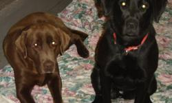 Pure Bred Lab Puppies for sale, the mom is a pure bred Black Lab which we mated with a registered Chocolate Lab, we have all Black Lab's.  Mom and dad have excellent temperment with kids, and are very gentle and quiet.   If you are interested ,please