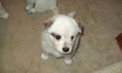 Blue Heeler / American Eskimo puppies for sale!! Puppies are 7 weeks old , dewormed, and ready to go to a good home.  Please call for more info at 905-957-0498 or 905-631-7672 ask for Ellen.