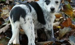 Super sweet blue heeler/shepherd mix puppies. These puppies are very social and outgoing, and highly intelligent! They will make excellent family pets. Ideally suited for homes with some yard space at least, and they will love a daily walk for exercise.
