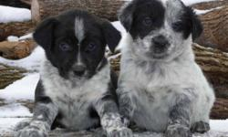 Our lovely family dog has a beautiful litter of 10 puppies with 8 females and 2 males. They have amazing blue/black coat colours with wonderful temperaments. These puppies have been lovingly raised by our family so they come well socialized. We live out