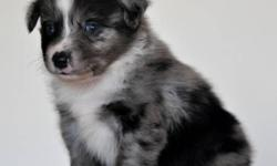 "This cute, friendly boy should mature around 15"" to 19"" or so at the shoulder.  He will be vet checked, dewormed and have his first shots before he goes to his new home. Ready to go to his new home Jan 23rd 2012  $500 + GST Visits welcome. Both parents on"