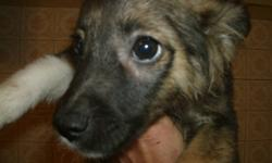 Boarder Collie/ Poodle   4 Cute puppies ready for a good home   3 Male, 1 Female   Not vet checked