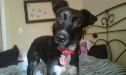 Breed: Border Collie mix Age: Young Sex: F Size: Medium, approx 35 lbs Bonnie is a 1 yr old Border collie mix. She is a very sweet, snuggly girl when she gets to know you, but does take a few minutes to warm up to new people and new situations. She is