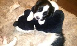 Beautiful black and white puppies for sale. Perfect Christmas gift. One has half tail and is a male two have full tails with white tips and are females. Dad is border collie half Australian Shepherd born with no tail and he is black and white. Mom is full
