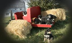 Very friendly and outgoing Border Collie Cross puppies are looking for good ?forever? homes. Mom to the puppies is a beautiful and very intelligent purebred Border Collie, gentle and exceptionally friendly, she loves to be petted, touched and caressed.