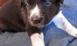 5 pups in litter, 4 males, 1 female.  One male sold already.  Pups are black and white with two having brown.    Parents are very dedicated and loyal, father is red collie x with blue heeler, large for his breeding.  Mother is black white border collie x