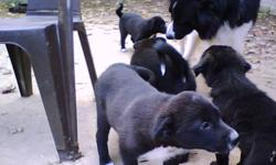 Border Collie Puppies, 1st shots, dewormed, vet checked, sturdy, strong, healthy, gentle temperament  for sale to responsible home, puppy experience helpful. She is kennel trained, house trained and used to other dogs. $250 negotiable. Phone 519- 568-