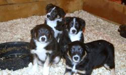 Border Collie Puppies for sale. Both parents are on site and both are registered. Very intelligent dogs with great personalities. Pups have been Vet checked, wormed and have had their first vaccination. There are currently three males and  two females